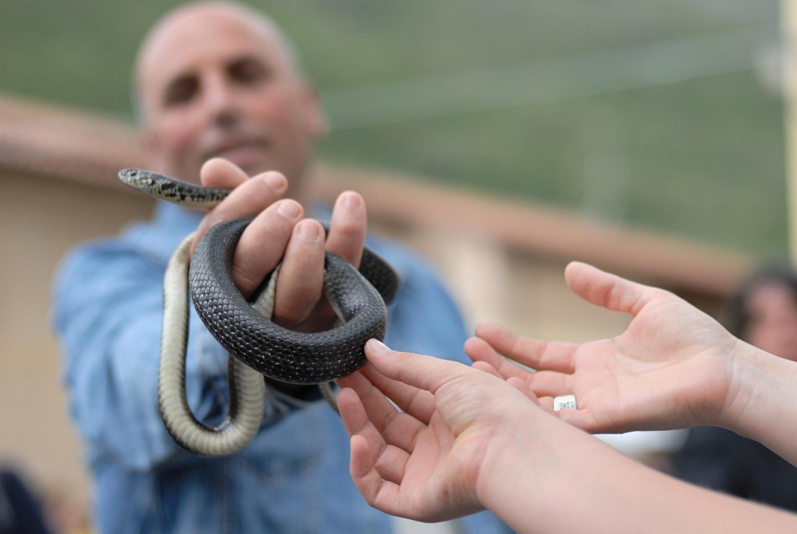 La Festa dei Serpari - prima della processione i serpari mostrano i serpenti ai visitatori, permettendo loro di toccarli e maneggiarli, mentre si intonano canti popolari per le vie del paesino